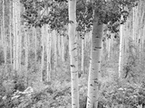 An Aspen Grove Adjacent to Highway 82, Eight Miles East of Aspen Photographic Print by David Hiser