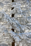 Rime Ice Coats An Eastern Hemlock Tree Photographic Print by Amy & Al White & Petteway