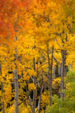 Aspen Trees in Bright Autumn Colors Stampa fotografica di Robbie George