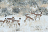 Pronghorn group herd foraging in a snowstorm Yellowstone wild animal photo by Tom Murphy