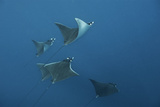 A School of Devil Rays Swim As They Filter Feed Off Isla Mujeres Photographic Print by Mauricio Handler