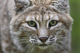 Portrait of a Female Bobcat, Lynx Rufus, Stalking Photographic Print by Karine Aigner