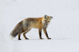 A Red Fox, Vulpes Vulpes, Listening for Rodents Burrowed Under the Snow Photographic Print by Robbie George