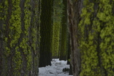 A Snowy Path Through Moss Covered Trees in a Forest Fotografisk tryk af Raul Touzon