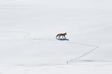 A Red Fox, Vulpes Vulpes, Walks Through Snow Photographic Print by Tom Murphy