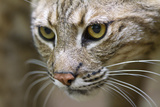 Portrait of a Bobcat, Lynx Rufus Photographic Print by Karine Aigner
