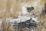 A Young Gray Wolf, Canis Lupus, Walking Through Tall Grass and Snow Fotografisk tryk af Barrett Hedges