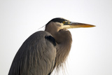 Profile Portrait of An Adult Great Blue Heron, Ardea Herodias Photographic Print by Robbie George