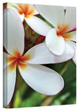 Kathy Yates 'White Plumeria' Canvas Art Gallery Wrapped Canvas by Kathy Yates