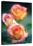 Kathy Yates 'Rose Trio' Canvas Art Stretched Canvas Print by Kathy Yates