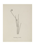 Baccopipia Gracilis. Illustration From Nonsense Botany by Edward Lear, Published in 1889. Giclee Print by Edward Lear