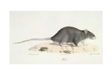 A Rat Giclee Print by  Werner