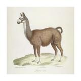 A Male Llama Giclee Print by  Werner