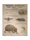 A Bat, Mole and Hedgehog Giclee Print by T. Deyrolle