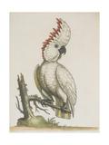 Cockatoo Giclee Print