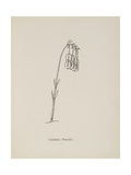 Guittara Pensilis. Illustration From Nonsense Botany by Edward Lear, Published in 1889. Giclée-Druck von Edward Lear