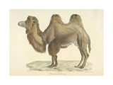 A Bactrian Camel Giclee Print by  Werner