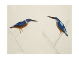 Deep Blue Kingfisher Giclee Print by J. Briois