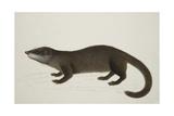 Otter Civet Giclee Print by J. Briois