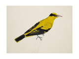 Black-Naped Oriole Giclee Print by J. Briois