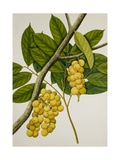 Lansium Domesticum Giclee Print
