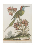 Indian Bee-eater Giclee Print
