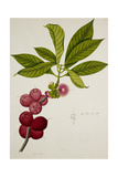 Malay Apple Giclee Print