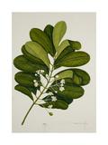 Calophyllum Inophyllum Giclee Print