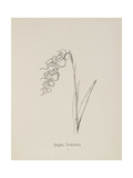 Jinglia Tinkettlia. Illustrations From Nonsense Botany, and Nonsense Alphabets by Edward Lear Giclee Print by Edward Lear