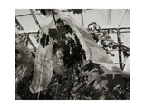 Grapes Growing in Greenhouse Giclee Print by Fay Godwin