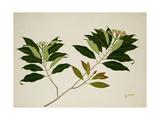 Clove Tree Giclee Print