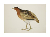 Long-Billed Partridge Giclee Print by J. Briois