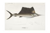 Sailfish. Istiophorus Giclee Print by Christian Ehrenberg