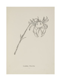 Crabbia Horridia. Illustration From Nonsense Botany by Edward Lear, Published in 1889. Giclee Print by Edward Lear