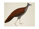 Crested Fireback Pheasant Giclee Print by J. Briois