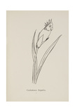Cockatooca Superba. Illustration From Nonsense Botany by Edward Lear, Published in 1889. Giclee Print by Edward Lear