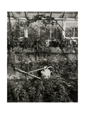 Plants Growing in Greenhouse Giclee Print by Fay Godwin