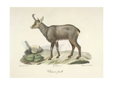 A Chamois Goat-antelope Giclee Print by  Werner