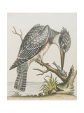 American Kingfisher Giclee Print