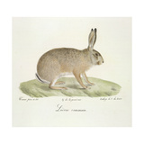 A Common Hare Giclee Print by  Werner