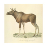 A North American Moose Giclee Print by  Werner