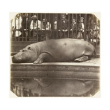 The Hippopotamus at the Zoological Gardens, Regent's Park, London, 1852 Giclee Print by Juan Carlos