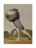 Illustration Of a Pigeon. Blue Pouter Giclee Print by H. Weir