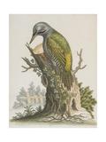 Woodpecker Giclee Print