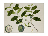 Custard Apple Giclee Print
