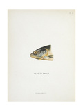 Head Of Smolt. a Fish Head Giclee Print by Fraser Sandeman