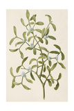 A Botanical Illustration Of a Plant. Mistletoe. a Hemi-parasitic Plant Giclee Print