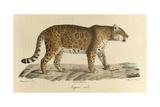 A Male Jaguar Giclee Print