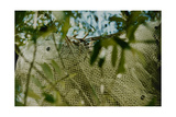 Plants Swathed in Netting Giclee Print by Fay Godwin
