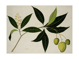 Mango Lámina giclée